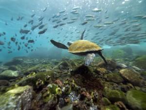 Галапагосские острова, черепаха, Эквадор