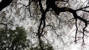 Велесов дуб Один Коломенское